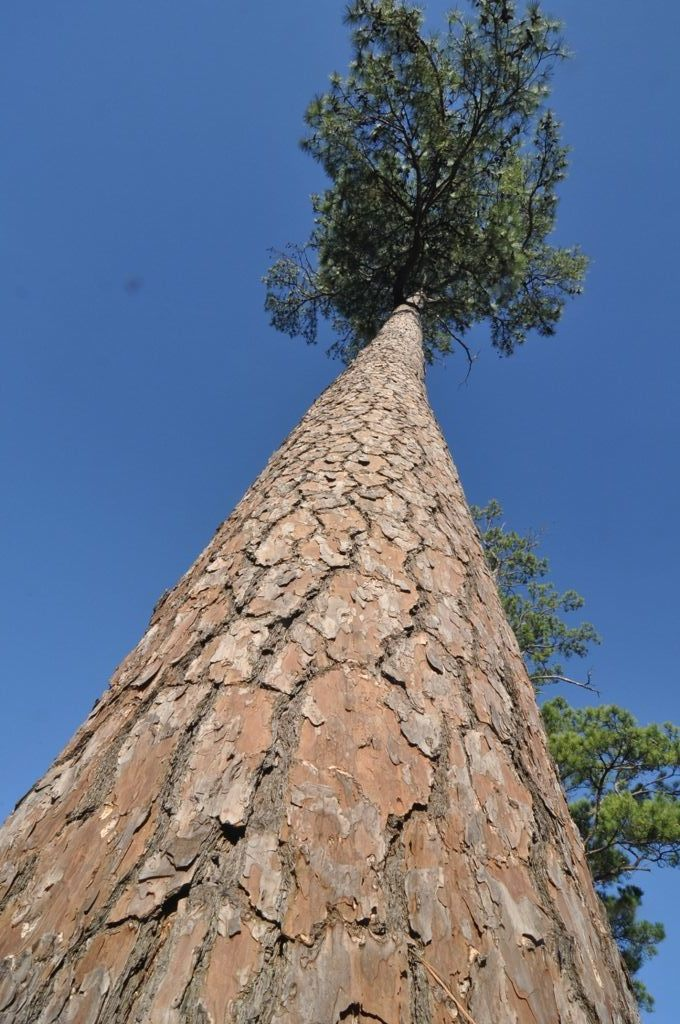 A loblolly pine on the campus of Stephen F. Austin State University in Nacogdoches, TX. Photo courtesy of Ron Billings, Texas A&M Forest Service.