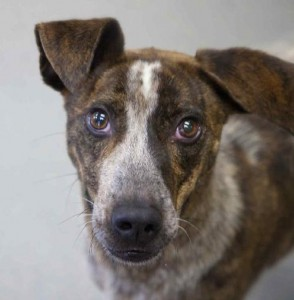 This is Helios, an approximately 3-year-old cattle dog/greyhound mix with Lucky Dog Animal Rescue.Credit: Lucky Dog Animal Rescue www.luckydoganimalrescue.org