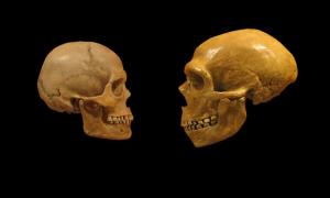 neanderthal sapiens comparison image