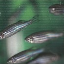 October GENETICS zebrafish cover