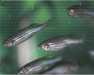 October GENETICS zebrafish cover