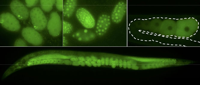 C. elegans GFP fusions made by CRISPR