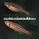 zebrafish gwas