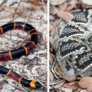 Left: Eastern coral snake (Micrurus fulvius); Right: Eastern diamondback rattlesnake (Crotalus adamanteus) IMAGE CREDIT: Kenny Wray, Florida State University