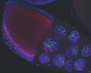 Drosophila stage 10 egg chamber. DNA (blue) labels large nuclei of nurse cells and smaller follicle cells. Fluorescent in situ probes to chromosome-2 (red) and the X-chromosome (green) show condensin II mediated dispersal of chromatid fibers in nurse cells as they compact and form chromosome territories. Julianna Bozler and colleagues show that condensin II can exert mechanical forces great enough to remodel and pull nuclear envelope membrane into intra-nuclear vesicle-like structures, see Bozler et al. Image courtesy of Huy Nguyen.