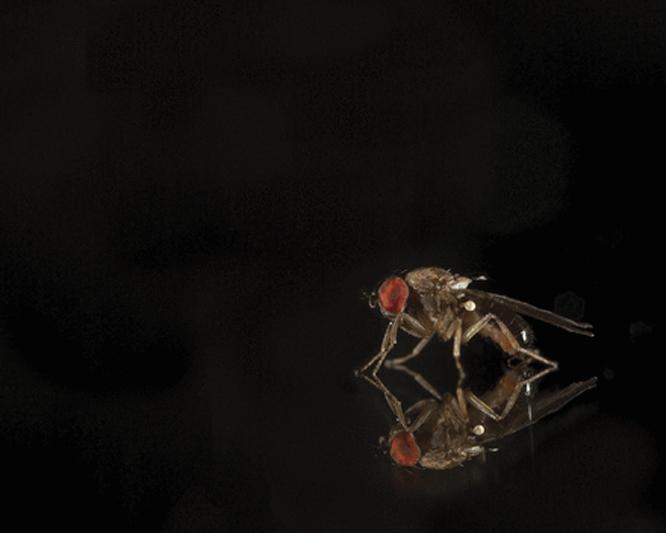 Drosophila affinis