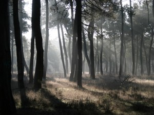 Maritime pine forest