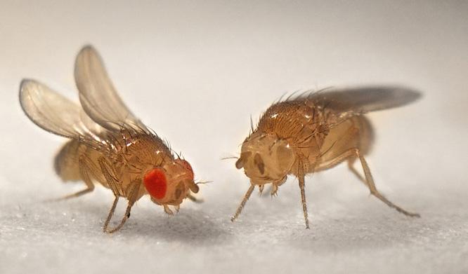 DrosophilaPhoto-666