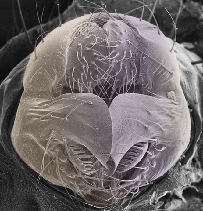 Drosophila genital arch