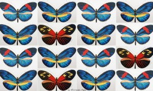 Different color pattern forms of Heliconius erato, Image credit: Riccardo Papa
