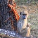 A juvenile yellow baboon rests by a tree in South Africa. In this issue of GENETICS, Atkinson et al. characterize the genetic architecture and evolvability of brain folding in primates using a pedigreed population of such baboons. Image courtesy of J. Graham Atkinson.