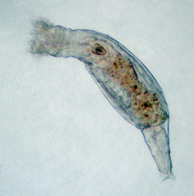 A Bdelloid Rotifer. By Rkitko shared under Creative Commons Attribution-Share Alike 3.0 Unported license.