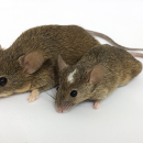 A mouse from Gough Island (left) next to a mouse from the mainland. Photo credit: Michelle Parmenter