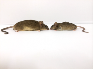 A mouse from Gough Island (left) next to a mouse from the mainland.