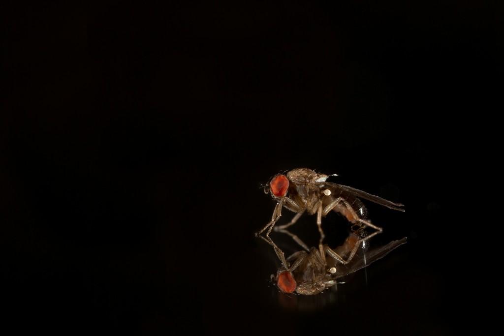 """FlyBook will cover D. melanogaster and more! Pictured: D. affinis male (Unckless et al. 2015) Image Credit: David Duneau"