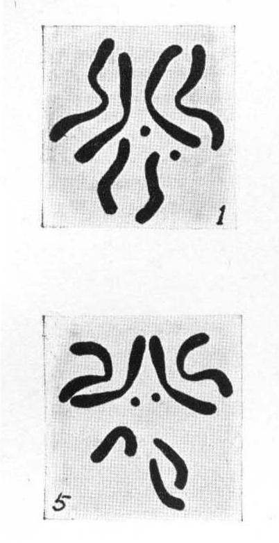 Fly karyotypes from Bridges 1916