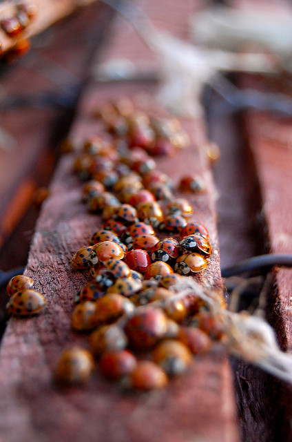 The Ladybugs' Picnic by The Real Estraya. CC BY-NC 2.0
