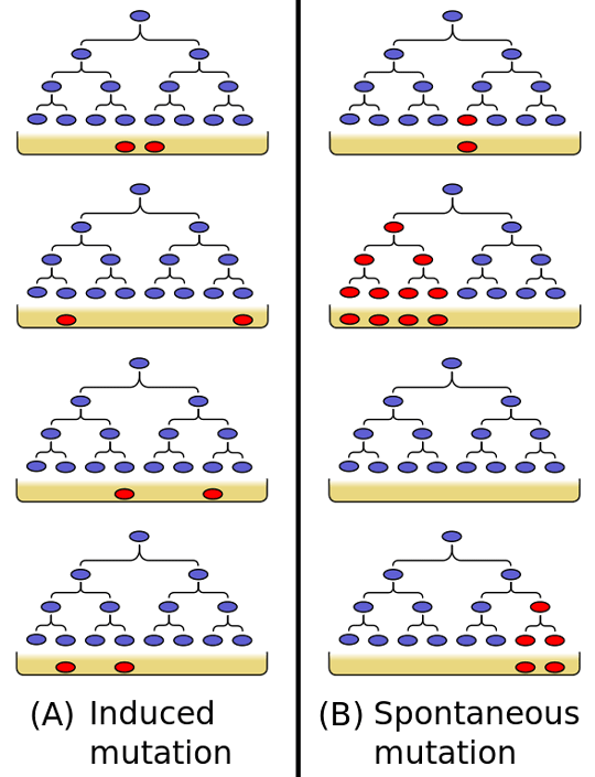 The Luria–Delbrück experiment. (A) If resistance is induced by the presence of the phage in the final, assay plate, independent cultures should yield roughly similar numbers of resistant colonies. (B) If resistance mutations arise spontaneously during the cell divisions prior to plating, the number of resistant colonies will depend on how early in the culture the mutation arose. Image: By Madprime (Own work) [CC0, GFDL (http://www.gnu.org/copyleft/fdl.html), CC-BY-SA-3.0 (http://creativecommons.org/licenses/by-sa/3.0/) or CC BY-SA 2.5-2.0-1.0 (http://creativecommons.org/licenses/by-sa/2.5-2.0-1.0)], via Wikimedia Commons