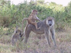 Vet, a female yellow baboon, and her children in Amboseli National Park. Photo courtesy of Susan Alberts.