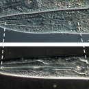 The pharynx in the wild type worm (top) is shorter than the pharynx in the mutant worm (bottom). Image credit: modified from figure 1 in Shibata et al.
