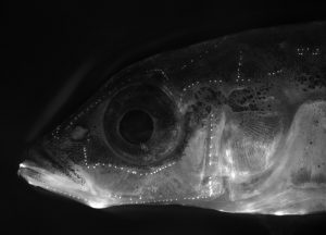 A stickleback with sensory cells of the lateral line (neuromasts) stained. By Abby Wark.