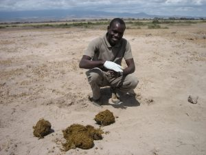 Patrick Chiyo collecting noninvasive samples from elephants in Amboseli National Park
