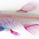 Adult zebrafish stained with alcian blue (cartilage) and alizarin red (bone). Courtesy Joanna Smeeton.
