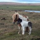 Newborn Shetland pony foal not affected by skeletal atavism. © Copyright Mike Pennington and licensed for reuse under this Creative Commons License.