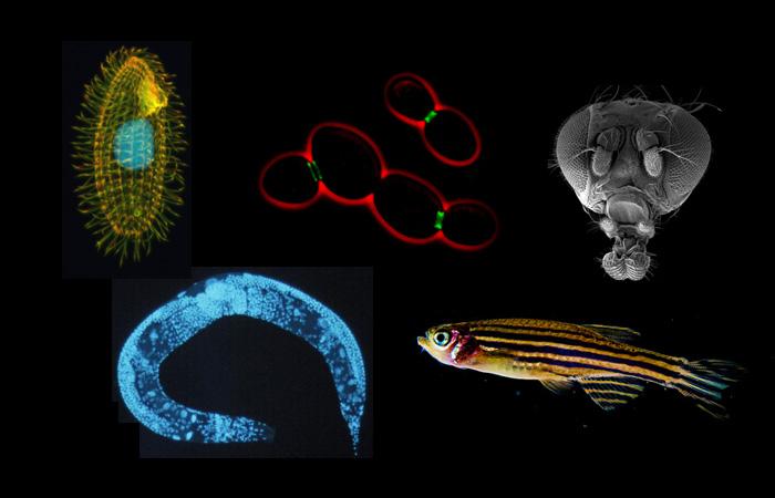 From top center:  Yeast: Spitfire ch, Philippsen Lab, Biozentrum Basel ; Caenorhabditis elegans: NIH; zebrafish: NIH CC BY2.0; Drosophila melanogaster: Naoyoki Fuse, Kyoto University; Tetrahymena: Robinson et al. PLoS Biology Vol. 4/9/2006, e304. doi:10.1371/journal.pbio.0040304, CC BY 2.5.