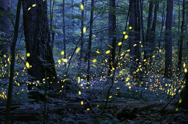 Schreiber-synchronous-fireflies-elkmont-105834