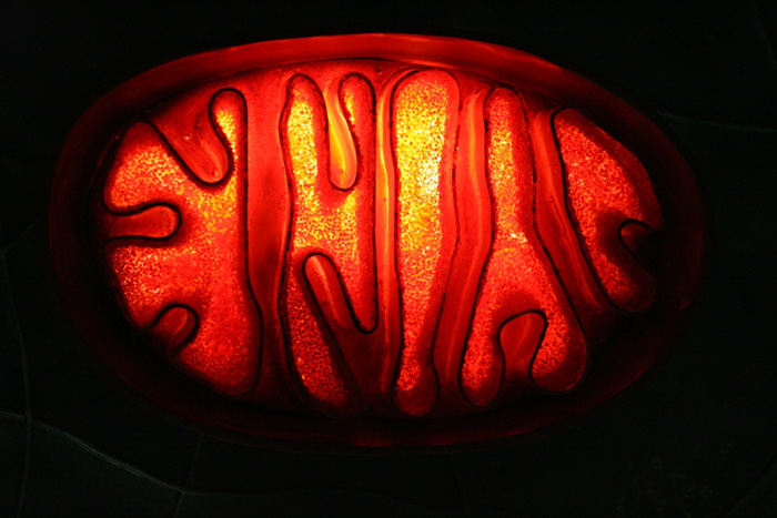 Mitochondrion by Wolfgang Stief. Shared under a CC BY-NC-ND 2.0 license