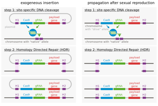 In this depiction of gene drive, a circular DNA molecule called a plasmid is inserted into cells. The plasmid contains a gene for the DNA-cutting enzyme Cas9, a sequence encoding a guide RNA (gRNA) that defines the sequence Cas9 will cut and a gene to be inserted at the cut site (payload gene). These sequences are flanked by homology arms (H1 and H2) that match up with DNA surrounding the cut sequence in the normal chromosome, allowing the whole DNA cassette on the plasmid (H1, Cas9, gRNA, payload gene, H2) to serve as a template for repairing the cut chromosome. Then, the repaired chromosome acts as a template itself when Cas9 cuts the homologous chromosome, so both copies of the chromosome in the cell contain the DNA cassette. Thus, the progeny will inherit the inserted sequence (almost) 100% of the time. Image by Thomas Julou (Own work) [CC BY-SA 4.0 (http://creativecommons.org/licenses/by-sa/4.0)], via Wikimedia Commons.