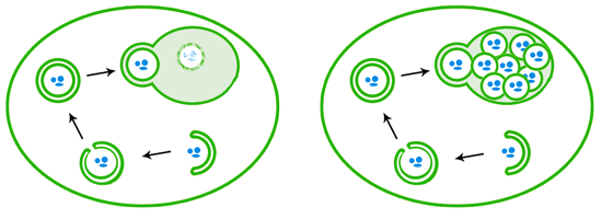 When autophagy is induced, a double layer of membranes wraps around cellular debris, eventually sealing up its target inside a closed autophagosome. The autophagosome then fuses with the lysosome/vacuole, releasing a single-membrane bound package that is then degraded by enzymes (left). In vacuole degradation mutants like those used in Ohsumi's lab (right), the autophagosome contents that are delivered to the vacuole are not degraded and accumulate.