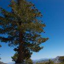 A sugar pine laden with massive cones. Photo by Laura Camp via Flickr.