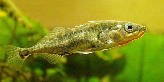 Three-spined stickleback. Photo: Flickr user Jack Wolf. Shared under a CC BY-ND 2.0 license.