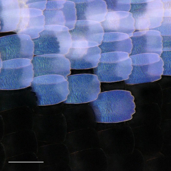 Close-up of scales in the wing eyespot focus of the wild-type <i>Junonia coenia</i>.
