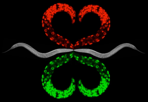 <i>C. elegans</i> art by Ahna Skop and Tri Nguyen.