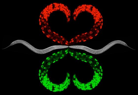 C. elegans art by Ahna Skop and Tri Nguyen.