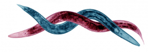 """<i>C. elegans</i> and <i>C. briggsae</i>"" by Todd Stairch. 2008."