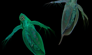 Common water fleas (Daphnia pulex) visualized by means of confocal laser scanning microscopy. Micrographs: Jan Michels, Christian-Albrechts-Universität zu Kiel, Germany. See Maruki and Lynch (pp. 1393) and Ye et al. 2017 (pp. 1405) in this issue and Ackerman et al. 2017 (pp. 105) and Lynch et al. 2017 (pp. 315) in the GENETICS May issue for related work.