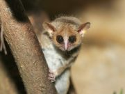 A lesser mouse lemur. By Arjan Haverkamp via Flickr.