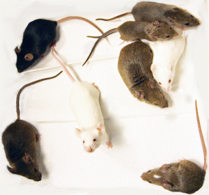 The eight founder strains of the Collaborative Cross mouse population.