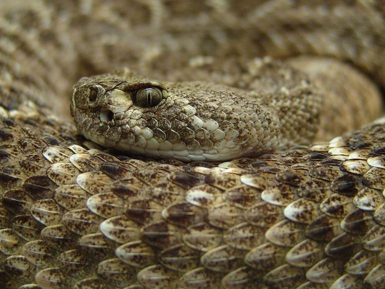 Eastern Diamondback Rattlesnake. Photo by Sven Weber via Wikimedia.