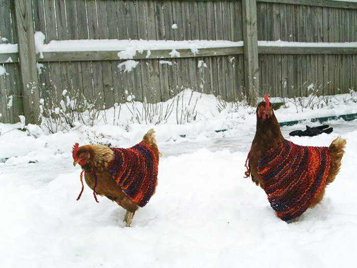 Some chickens are well suited for snowy environments. Photo by MaryEllen and Paul via Flickr. Shared under a CC BY-NC 2.0 license.