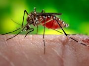 Only female yellow-fever mosquitoes drink blood. They can also spread dengue fever and Zika virus. Photo by the Centers for Disease Control.