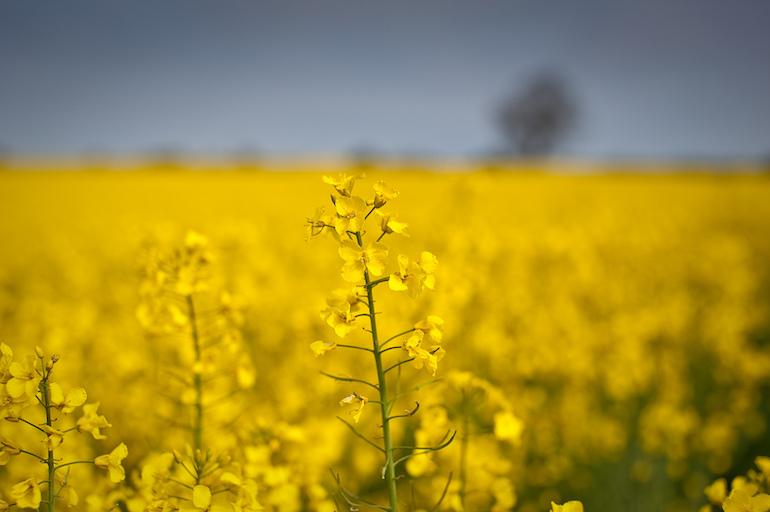 Oilseed rape flowers growing in a field. Photo by David Robson via Flickr.