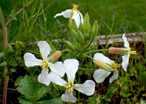 "Wild radish flowers. <a href=""https://www.flickr.com/photos/bugldy99/33897032793/in/photolist-TDn9TT-UyWLvC-oJBDso-9d8mD5-8AZ2q8-5gk24V-SGwC4W-ou9X9C-oLnLUD-UAZSxd-oLBURd-qyHwhQ-oJBJEh-qyBpxi-phsLYw-SUuYNg-p2Z2xp-p2ZDGQ-p2ZiiJ-oLBNDo-p2ZTA1-p2ZAv8-ou9WYg-pjuJs2-pjduyt-pjuMqr-p31gtg-m63Nj2-qhehbJ-dDS47u-p31nyy-qwv5Au-ouabjc-4jQwbh-aQ1JXM-oJBpnQ-oJBoNy-oLBCa7-pjuxPD-8AhJGL-ou9VzU-oLnuw8-oLBBBy-dDS45b-5gpnvU-DxQepu-qhkBSp-qyHvAE-dn119W-8D2fFb"">Photo Brenda Dobbs via Flickr.</a>"