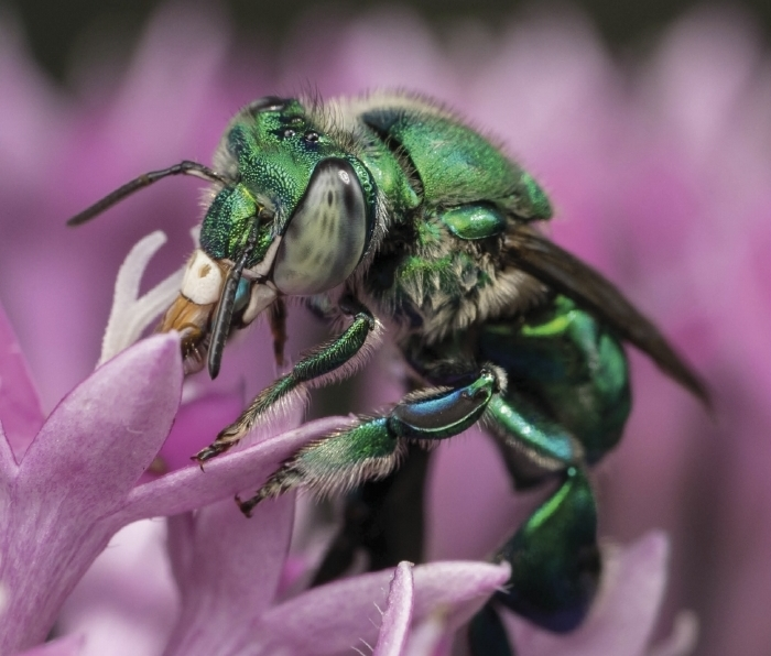 Male orchid bee Euglossa dilemma drinking nectar. Whole genome sequencing efforts by Brand et al. (2891–2898) published in this issue of G3 revealed that E. dilemma has one of the largest genomes known for insects. Image: Thomas Eltz.