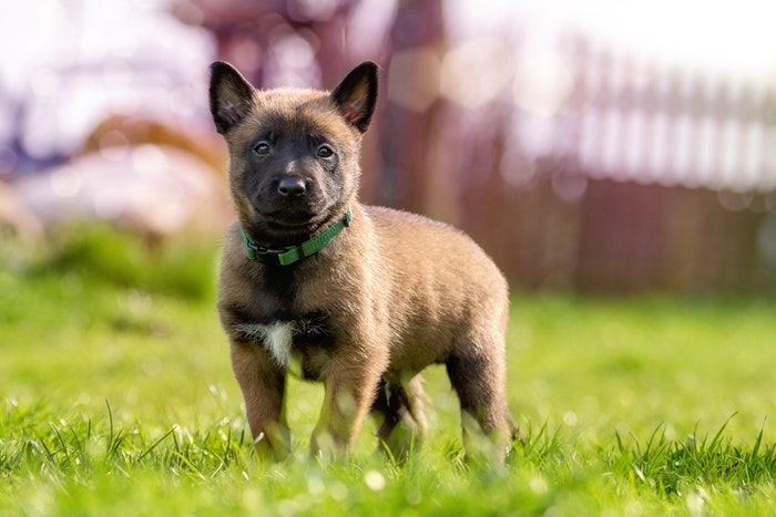 Fawn and Black Belgian Malinois Puppy on Green Grass. Via Pexels.