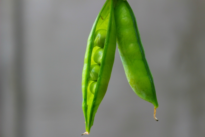 Much of Mendel's research on genetics was conducted using pea plants. Image credit: by Ruslana Babenkovia via Pixabay, CC0 license.